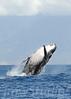 2008 Maui Whales (3)