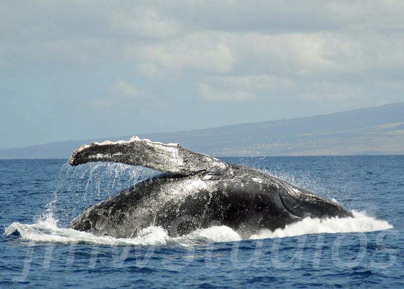 2008 Maui Whales (12)