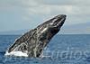 2008 Maui Whales (10)