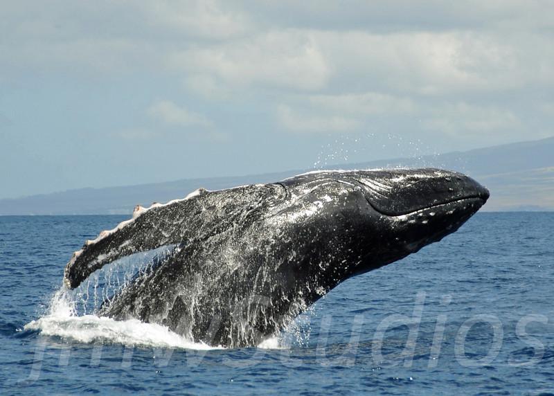 2008 Maui Whales (11)