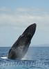 2008 Maui Whales (6)
