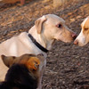 Buddy (yellow lab), Ginger, maddie
