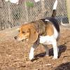 CHELSEA (beagle) 2