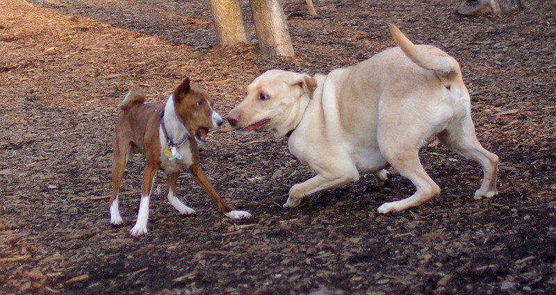 Shamus & Buddy (yellow lab)