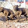 pitbull pups 3