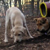 BRADY (yellow lab pup) , maddie