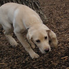BRADY (yellow lab pup) 2