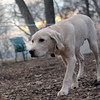 BRADY (yellow lab pup) 3