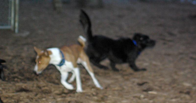 DASH (new boy) , Lenny ( basenji) 4
