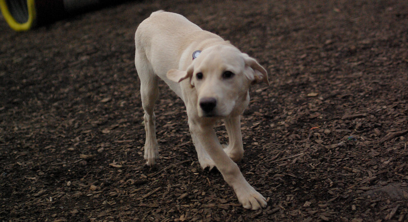 BRADY (yellow lab pup)