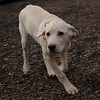 BRADY (yellow lab pup)