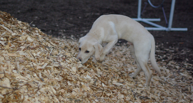 brady ( yellow lab pup) 6