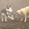 Bud ( bull terrier), Lucy (pitbull)