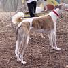 Chase (greyhound) 2