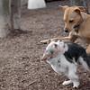 bruiser & buddy (lab pup)