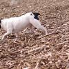forgot name rat terrier