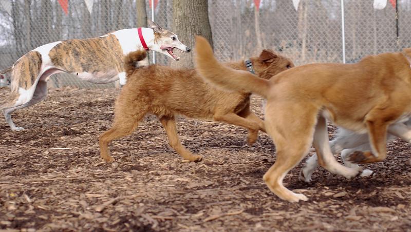 Chase (greyhound)