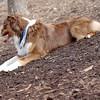 BAXTER (australian shepherd boy) 3