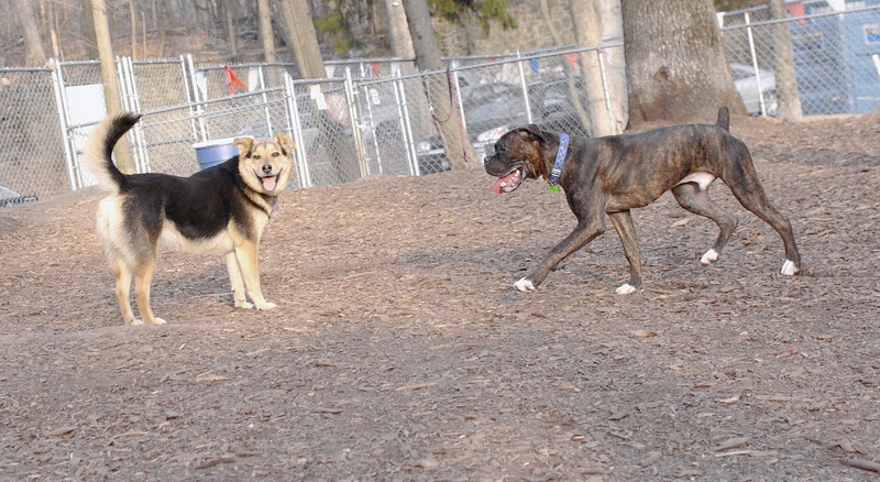 BUSTER (new, young boxer), Maddie
