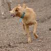 CHARLIE (dingo) 1