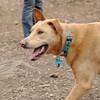 CHARLIE (dingo) 11