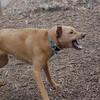 CHARLIE (dingo) , Marley (boy pup)
