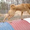 CHARLIE (dingo) 2 tube