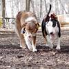BAXTER (aussie) & BUD (bull terrier) 2