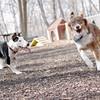 BAXTER (aussie) & BUD (bull terrier) 3