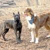 BAXTER (aussie boy) & BOOBOO (spanish mastiff)