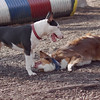 BAXTER (aussie) & BUD (bull terrier)