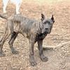 BOOBOO (spanish mastiff pup)
