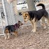 BAILEY (pup, yochon),  Maddie