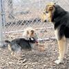 BAILEY (pup, yochon),  Maddie 2