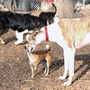 tiki & greyhound ( chase ) 2
