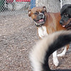 Zoe (boxer), Eubie (rottie boy) 2