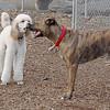 CASEY (brindle)  & Ethel (poodle)