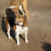 CHESEA (beagle), Charlie (girl), mocha