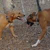 COPPER & CHLOE (boxer)