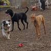 Maia (aussie pup), Narah, Charlie (black)