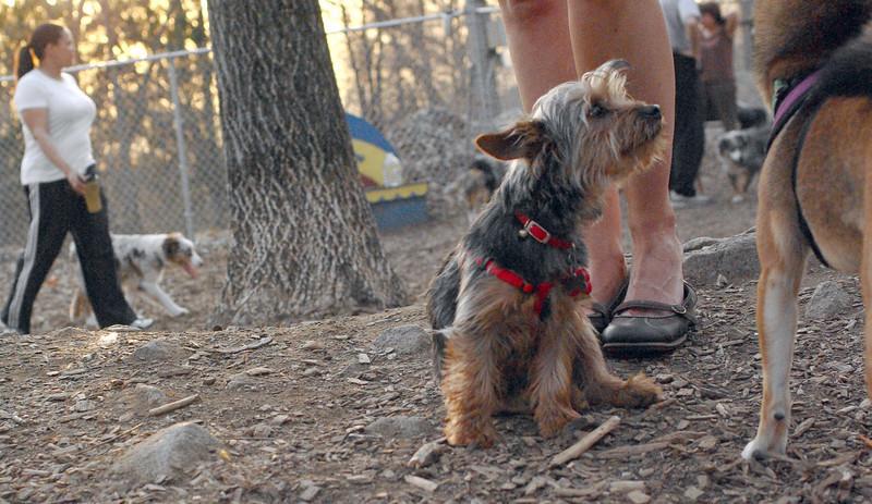 BAILEY (yorkie pup)