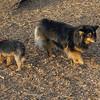 Maddie (corgi sheltie), Bailey (puppy yorkie)