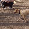 Buddy ( great lab pup)
