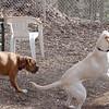 Bailey (younger), Marley (boy pup), Zoe (boxer)
