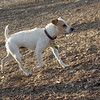 BENNY (jack russell)