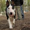 BUD (bull Terrier)