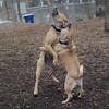 Buddy (young lab mix), Rocky (puggle)