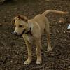 GRACIE (new lab pup)_00001