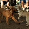 Bela & Duffy (irish pup)_1