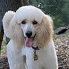 ETHEL (poodle)_1